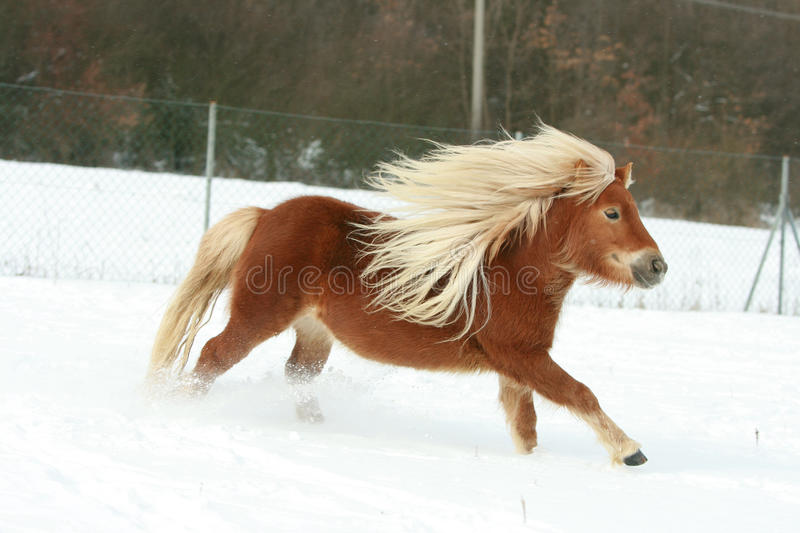 Gorgeous shetland pony with long mane in winter stock image