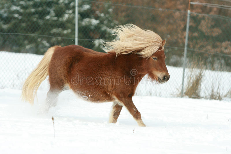 Gorgeous shetland pony with long mane in winter royalty free stock image