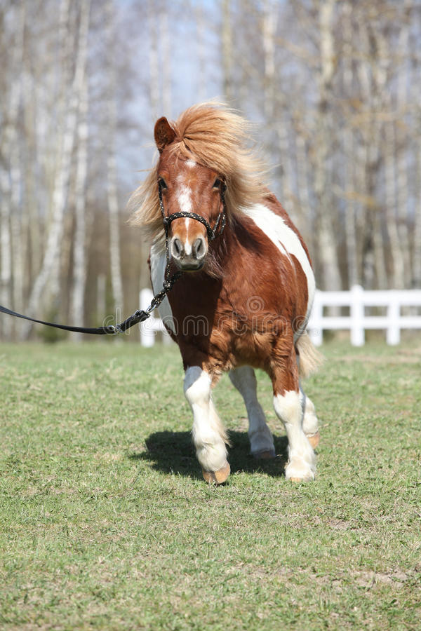 Gorgeous Shetland pony running royalty free stock photography