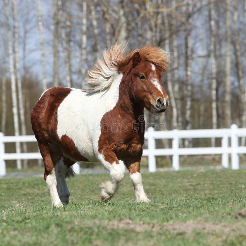 Gorgeous Shetland pony running stock image