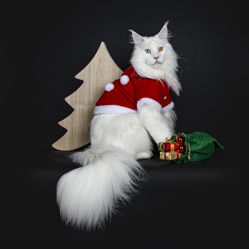 Gorgeous solid white odd eyed Maine Coon, Isolated on black background. royalty free stock image