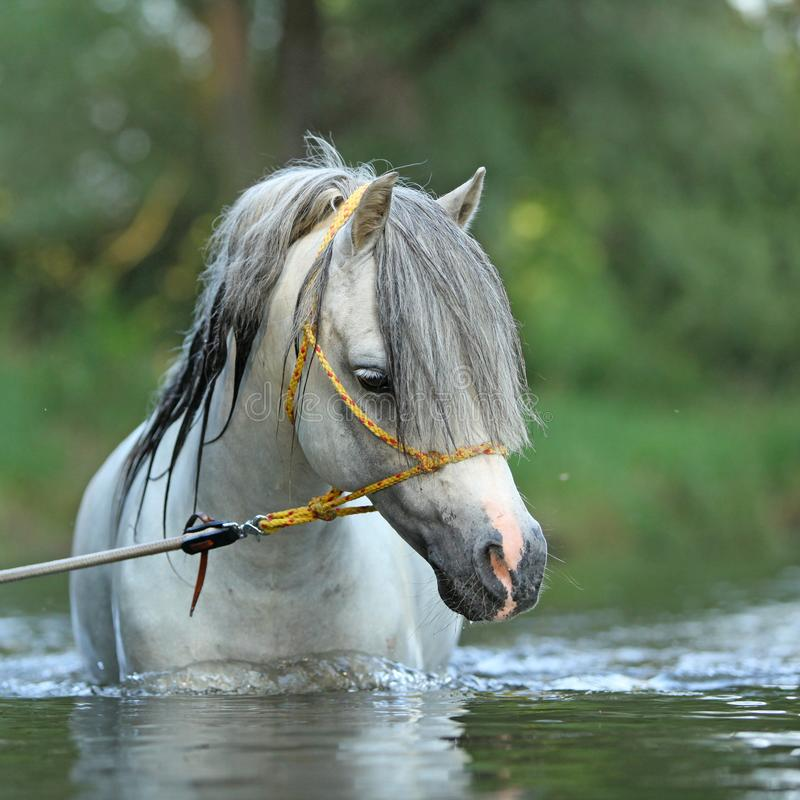 Gorgeous stallion swimming in river royalty free stock photo