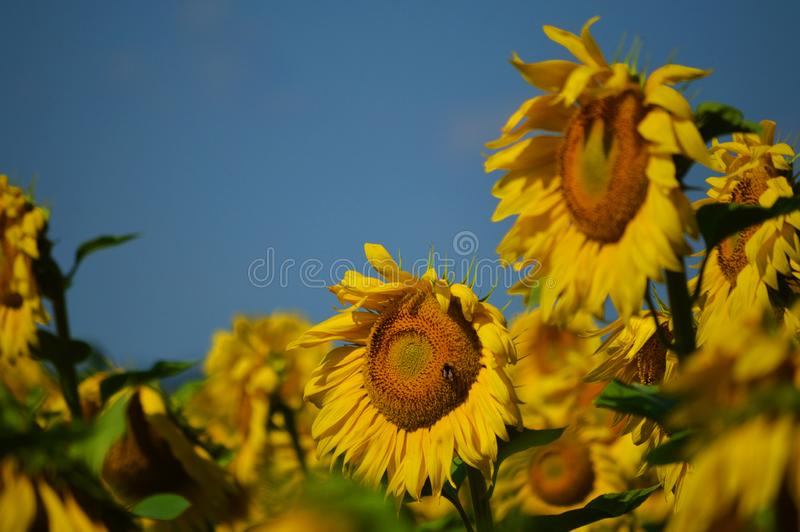Gorgeous sunflower field. Yellow sunflower with fly. Peaceful landscape with summer mood royalty free stock image