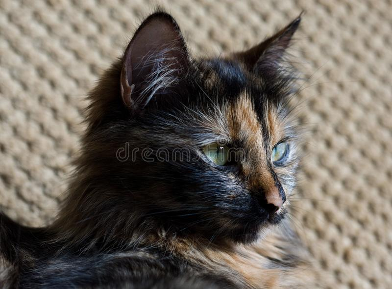 Gorgeous three colored cat. Cat with yellow eyes stock photos