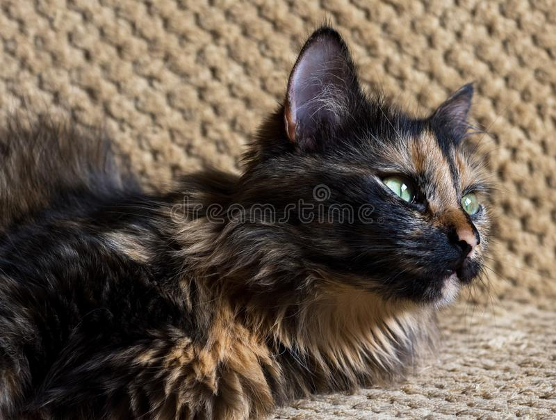 Gorgeous three colored cat. Cat with yellow eyes royalty free stock photo