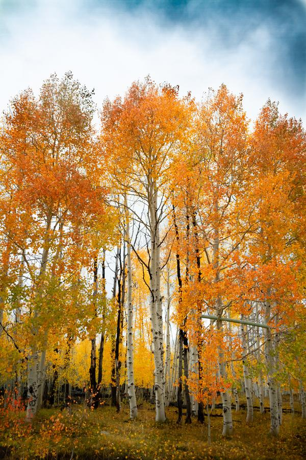 Gorgeous vertical shot of a forest of birch and aspen trees with bright vivid autumn leaves. During the day royalty free stock photos