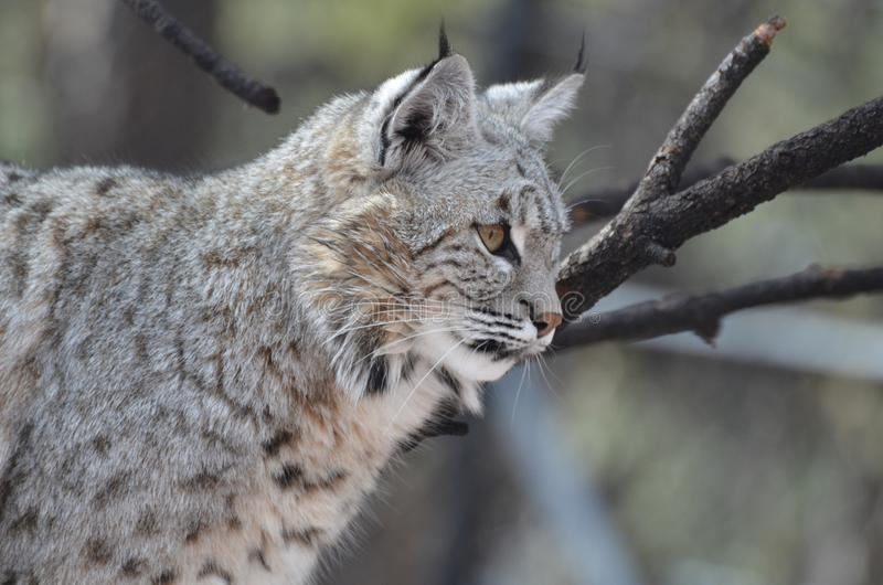 Amazing Lynx in the Wild royalty free stock images