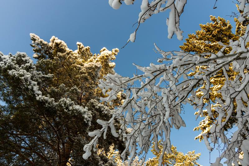 Gorgeous view of snow covered  tree top on blue sky background. royalty free stock images