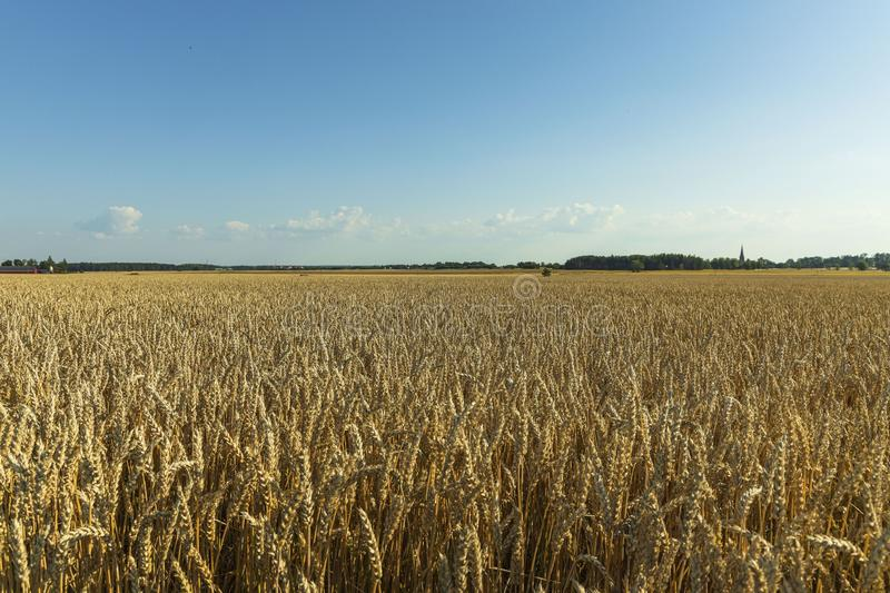 Gorgeous view of wheat field on blue sky background. Nice nature landscape.  royalty free stock photo