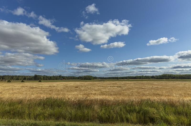 Gorgeous view of wheat field on blue sky background. Nice nature landscape.  stock photo