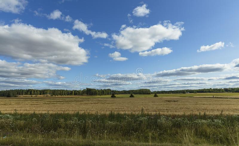 Gorgeous view of wheat field on blue sky background. Nice nature landscape.  royalty free stock photography