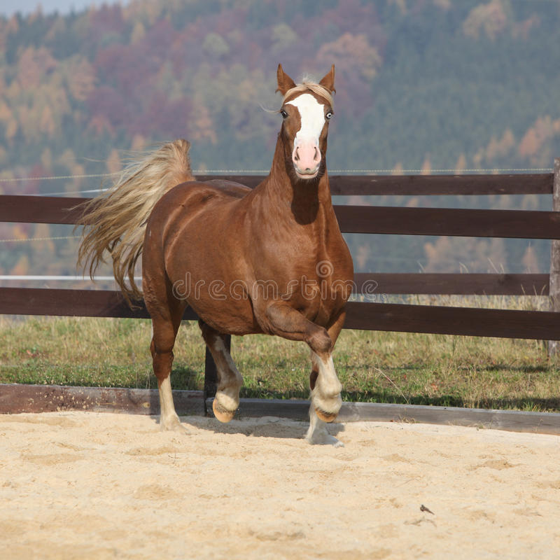Gorgeous welsh cob running in autumn. Gorgeous welsh cob running in arena, with autumn background royalty free stock image