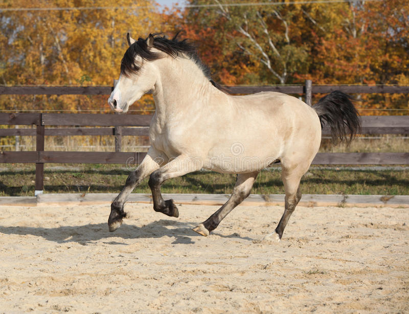 Gorgeous welsh cob running in autumn. Gorgeous welsh cob running in arena, with autumn background royalty free stock photos
