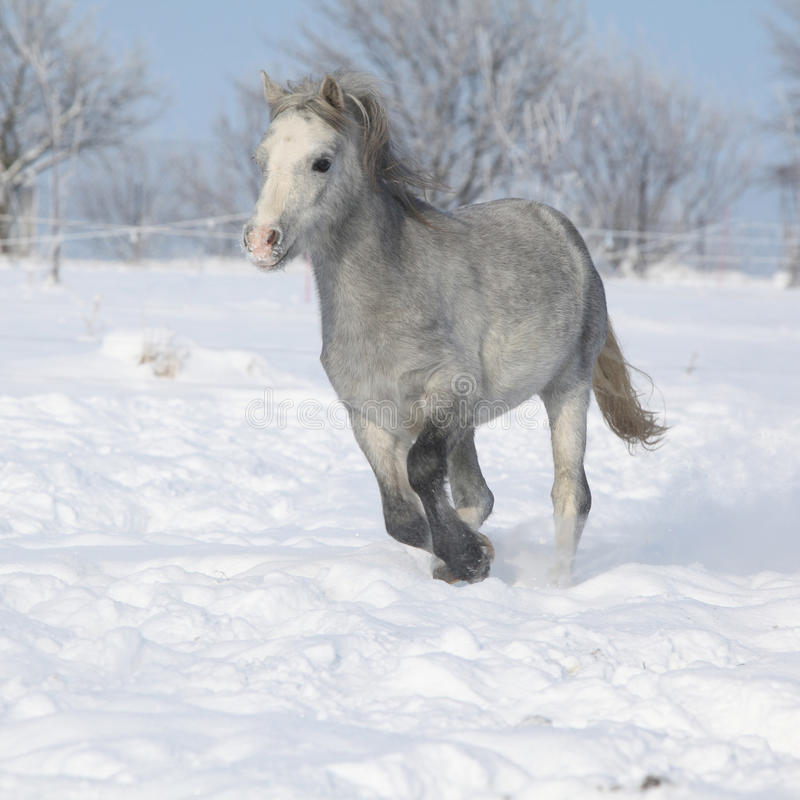 Download Gorgeous Welsh Mountain Pony Running In Winter Stock Photo - Image: 35566990