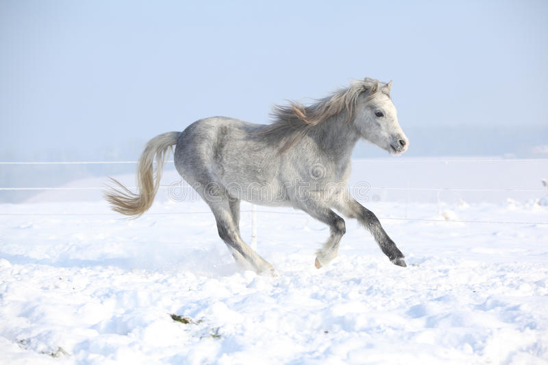Download Gorgeous Welsh Mountain Pony Running In Winter Stock Photo - Image: 35674034