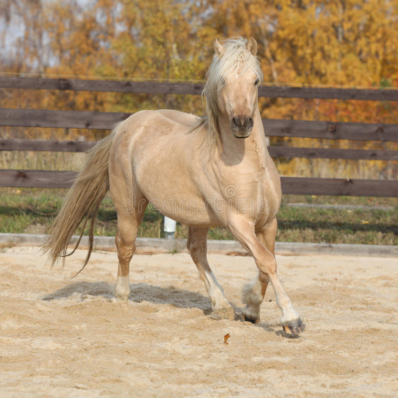 Gorgeous welsh pony of cob type running in autumn royalty free stock photography