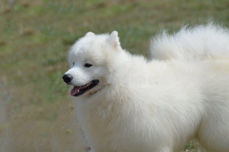 Gorgeous White American Eskimo Dog stock photography