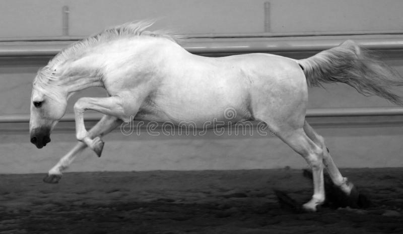 Gorgeous white andalusian spanish stallion, amazing arabian horse. Gorgeous white andalusian spanish stallion, amazing arabian horse canter in black and white stock images