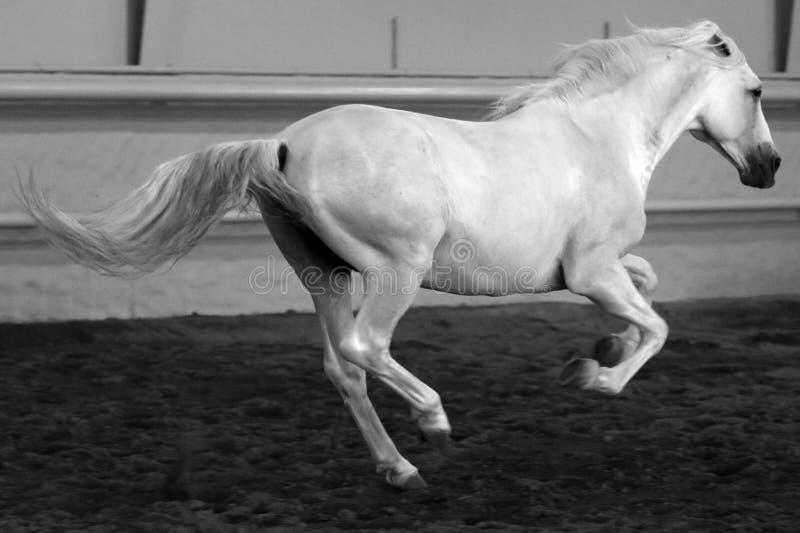 Gorgeous white andalusian spanish stallion, amazing arabian horse. royalty free stock photography