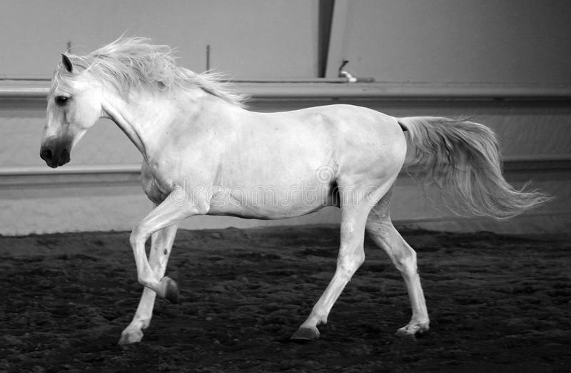 Gorgeous white andalusian spanish stallion, amazing arabian horse. Gorgeous white andalusian spanish stallion, amazing arabian horse canter in black and white stock photos