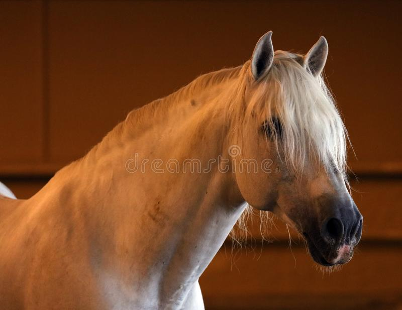 Gorgeous white andalusian spanish stallion, amazing arabian horse. royalty free stock photo