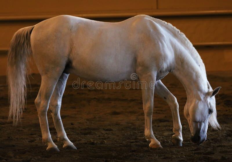 Gorgeous white andalusian spanish stallion, amazing arabian horse. stock photography