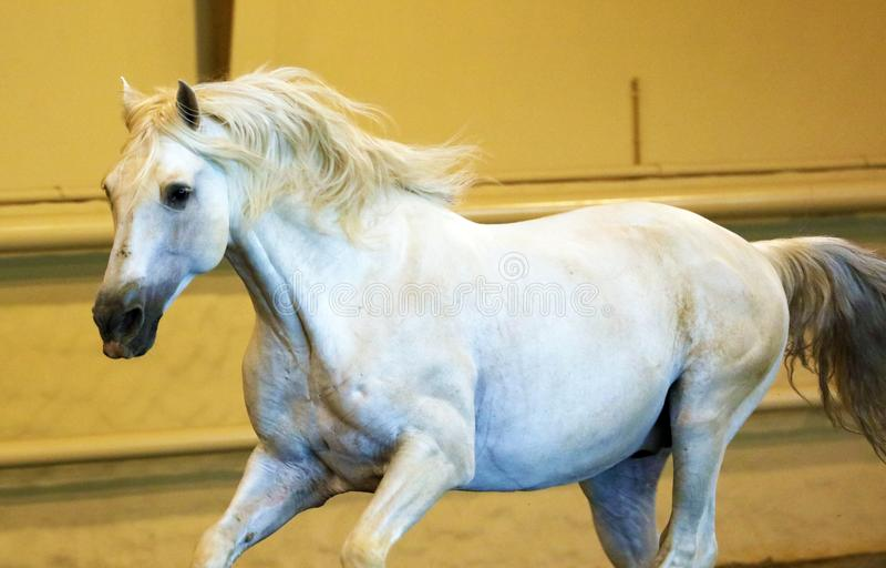 Gorgeous white andalusian spanish stallion, amazing arabian horse. royalty free stock images
