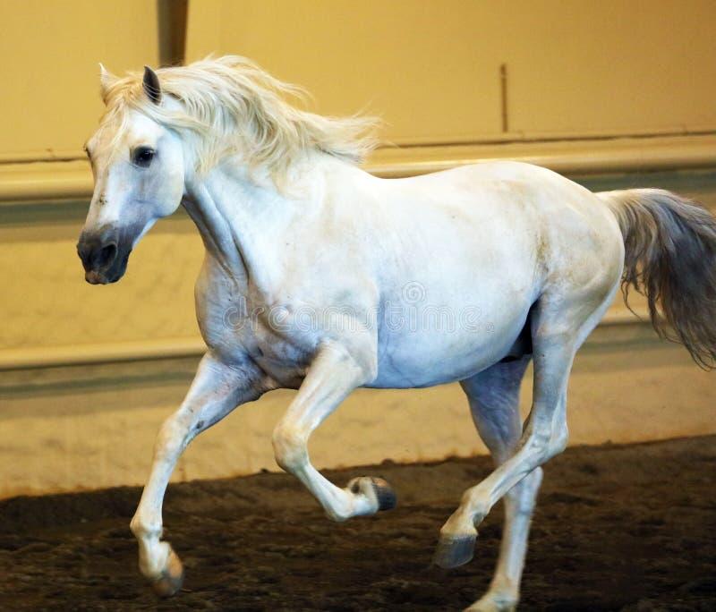 Gorgeous white andalusian spanish stallion, amazing arabian horse. stock photo