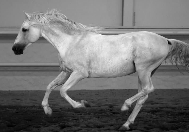 Gorgeous white andalusian spanish stallion, amazing arabian horse. Gorgeous white andalusian spanish stallion, amazing arabian horse canter in black and white stock photo