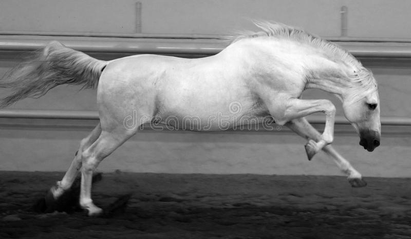 Gorgeous white andalusian spanish stallion, amazing arabian horse. Gorgeous white andalusian spanish stallion, amazing arabian horse canter in black and white royalty free stock image