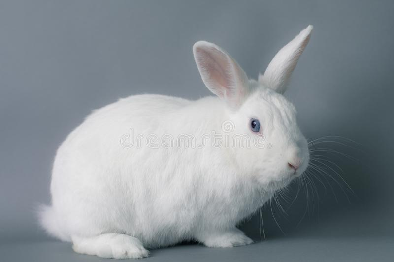 Gorgeous white baby bunny rabbit with huge ears on a seamless gray background royalty free stock photo