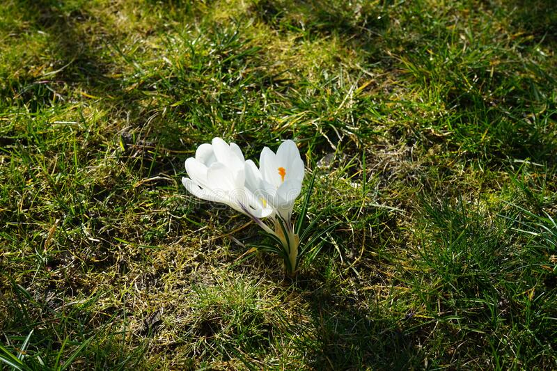 Gorgeous white crocuses in the garden, Berlin stock image
