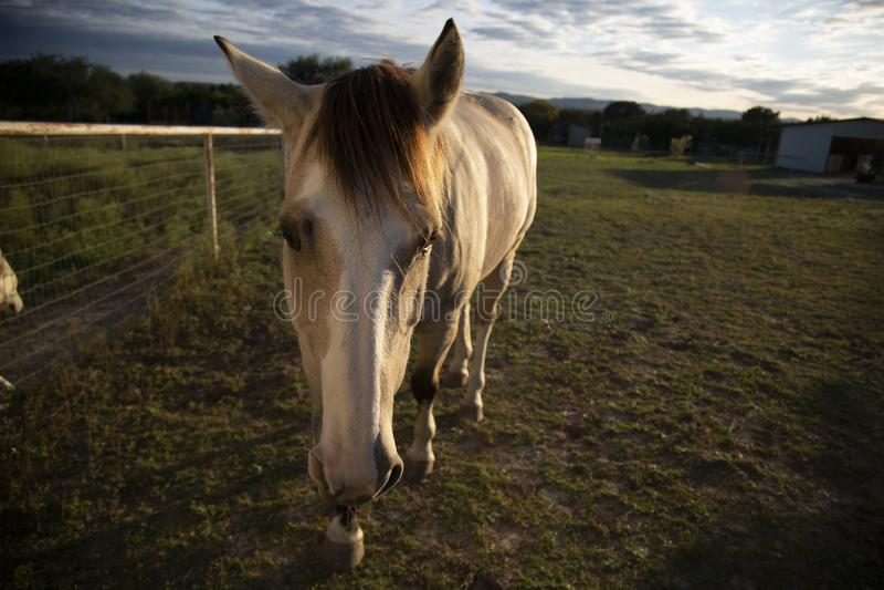 Gorgeous White Horse Steps Forward stock images