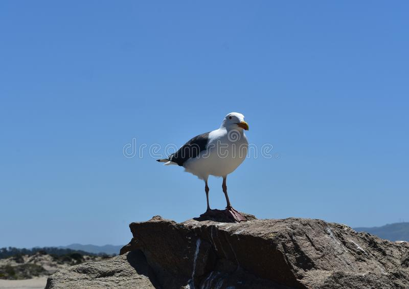 Beautiful shot of a seagull standing on the rocky coast royalty free stock images