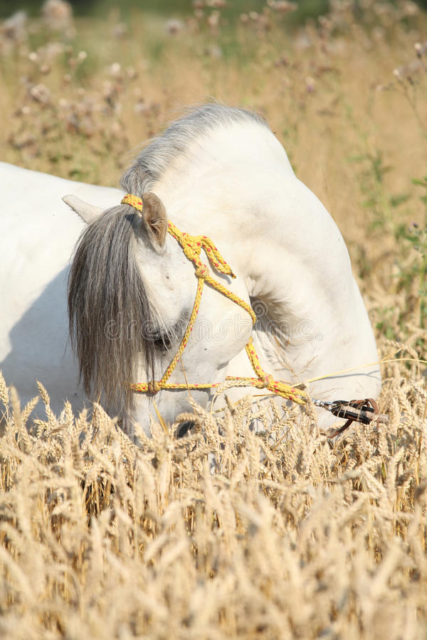 Download Gorgeous White Stallion Of Welsh Mountain Pony Stock Photo - Image: 32835082