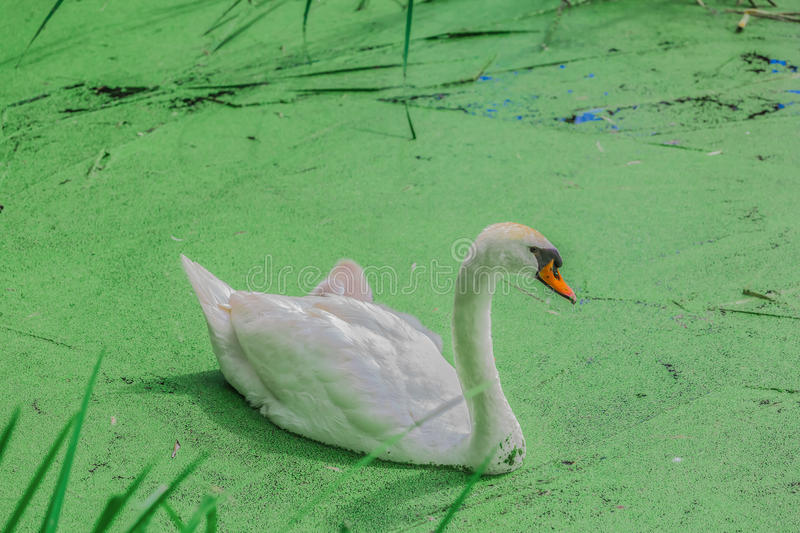 Gorgeous white swans in a lake royalty free stock image