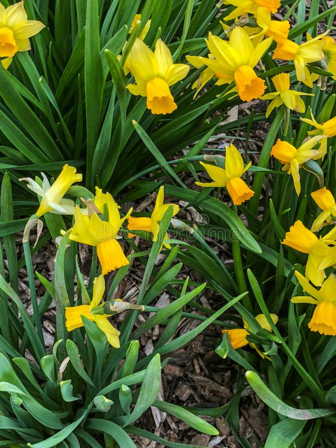 Yellow day lilies in flower garden royalty free stock photo
