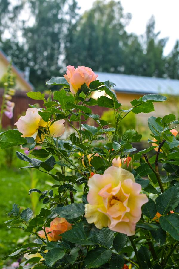 Gorgeous yellow roses on green background. Beautiful  colorful flowers decorate a  rural garden stock image