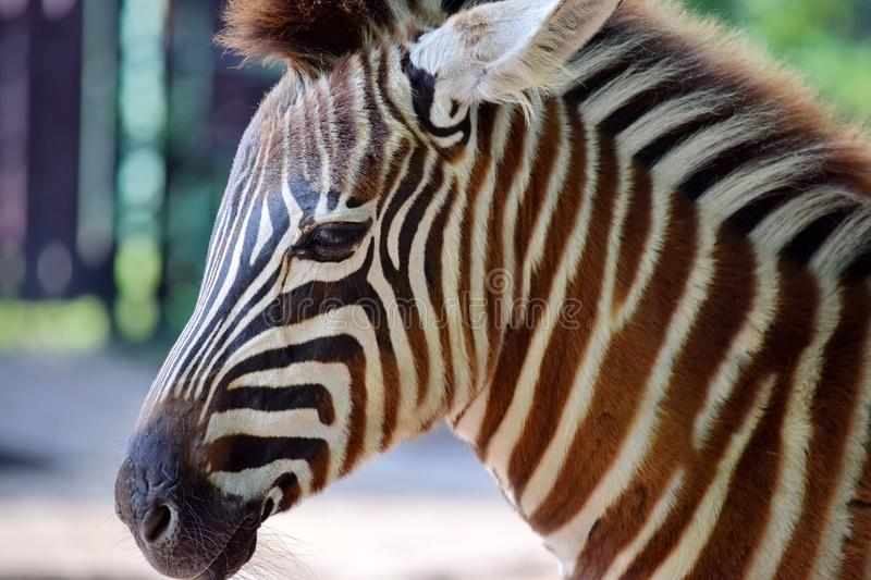Gorgeous Young Baby Zebra Head Close Up royalty free stock photography