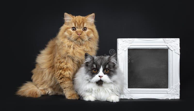 Gorgeousduo czerwieni i czerni dymny Brytyjski Longhair kot koci się, Odizolowywał na czarnym tle, zdjęcie stock