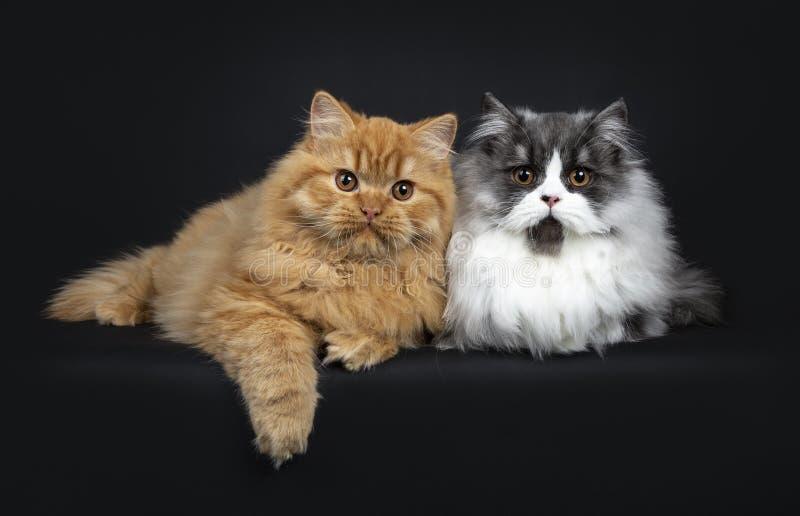 Gorgeousduo van katjes van een de rode en zwarte rook Britse die Longhair kat, op zwarte achtergrond wordt geïsoleerd royalty-vrije stock afbeeldingen