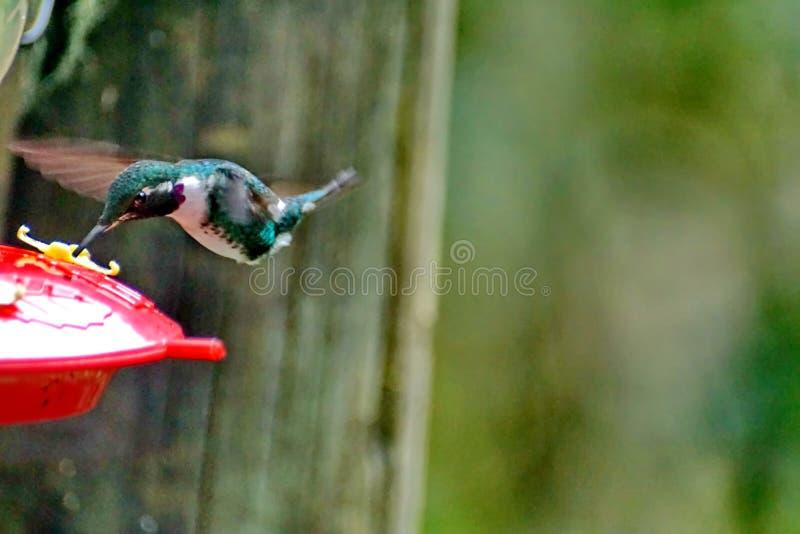 Gorgeted woodstar en Equateur photos stock
