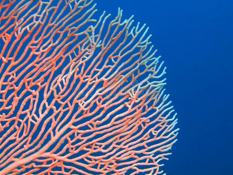 Gorgone koral obrazy stock
