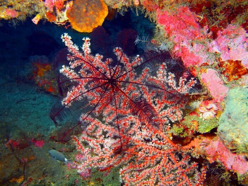 Gorgone koral obraz royalty free