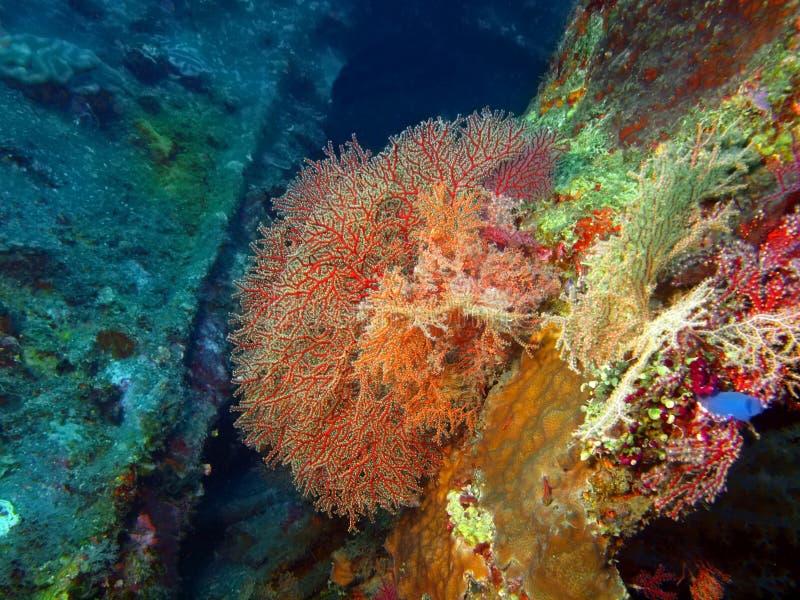 Gorgone koral zdjęcia royalty free