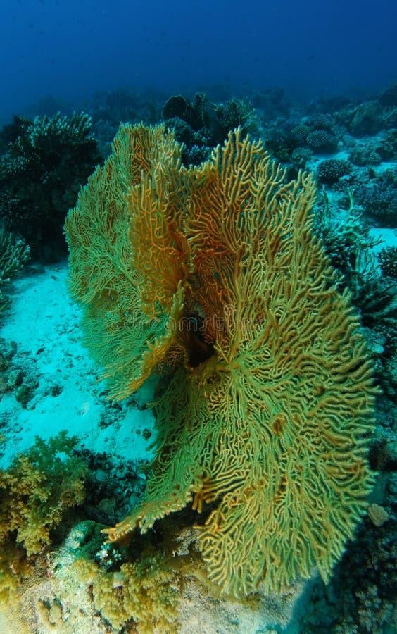 Gorgonia två över sanden inom korallträdgården royaltyfria bilder