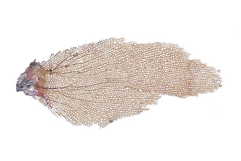 Gorgonia ventalina korala kościec obrazy stock
