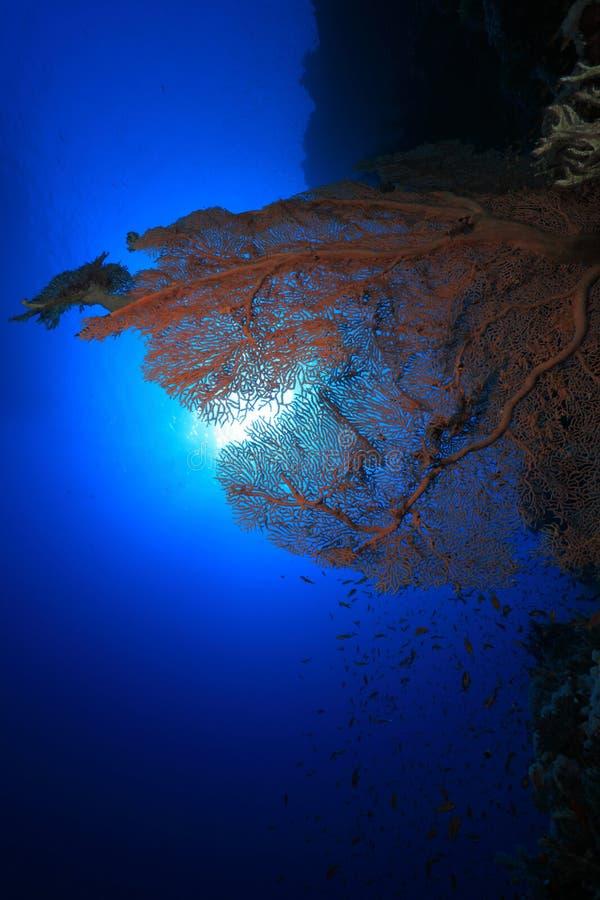 Gorgonian海底扇珊瑚和阳光 免版税库存照片