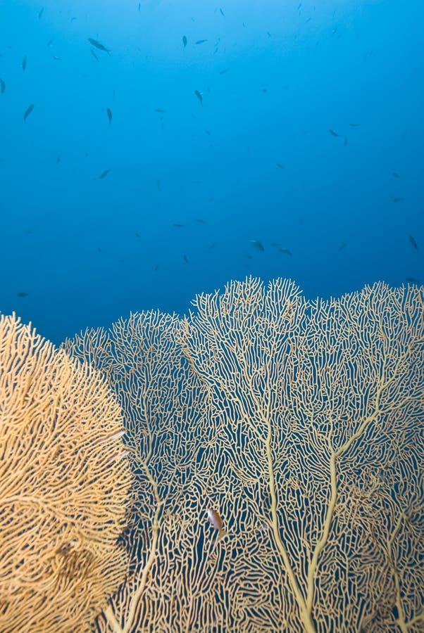 gorgonian背景蓝色珊瑚的风扇 库存照片