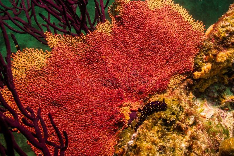 Gorgonian,巴哈礁石 库存照片